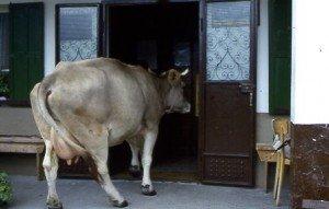 la mucca viola ...al bar